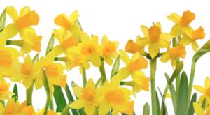 Daffodil Days Essex CT